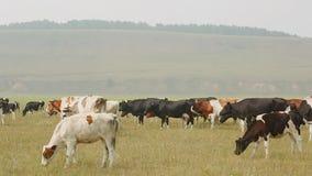 Большой табун коров пася в летнем дне против фона холмов и лесов видеоматериал