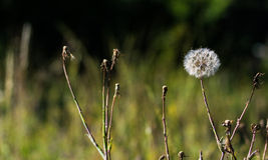Большой тип цветок одуванчика стоковое фото rf