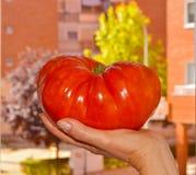 Большой томат стоковая фотография rf