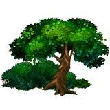Большой дуб дерева Природа, лес, концепция экологичности Стоковое Изображение