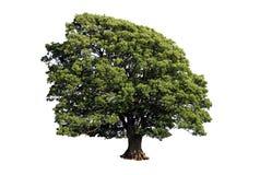 Большой дуб (на белой предпосылке) Стоковая Фотография