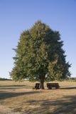 Большой дуб на луге в осени Стоковые Изображения