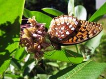 Большой украшанный блестками рябчик на цветках Milkweed Стоковое фото RF