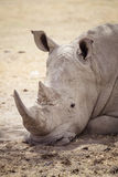 Большой утомленный носорог 2 Стоковые Фотографии RF