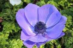 Большой фиолетовый, голубой цветок стоковое изображение rf