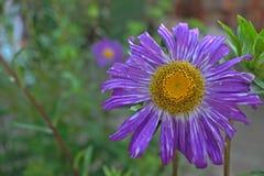 Большой фиолетовый цветок Стоковые Фотографии RF