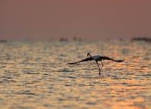 Большой фламинго готовый для того чтобы лететь стоковое изображение
