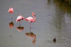Большой фламинго 3 стоя в воде с уткой Стоковое Изображение