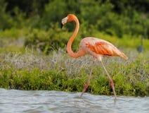 Большой фламинго Стоковая Фотография RF