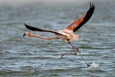 Большой фламинго Стоковое фото RF