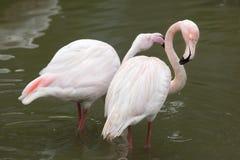 Большой фламинго & x28; Roseus& x29 Phoenicopterus; стоковые изображения rf