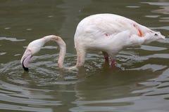 Большой фламинго & x28; Roseus& x29 Phoenicopterus; стоковая фотография