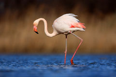 Большой фламинго, ruber Phoenicopterus, красивая розовая большая птица в синей воде, с солнцем вечера, тростник на заднем плане,  стоковое изображение