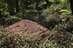Большой холм муравея в древесине Стоковые Изображения