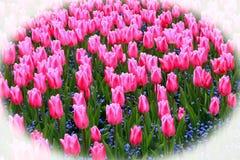 Большой цветник розовых тюльпанов с голубой вербеной Стоковые Фотографии RF
