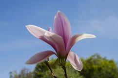 Большой цветок магнолии Стоковая Фотография RF