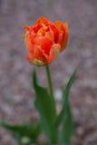Большой цветок тюльпана после дождя стоковая фотография