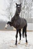 Большой черный жеребец Стоковые Фотографии RF