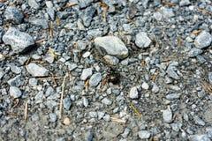 Большой черный жук идя на каменный путь стоковое изображение