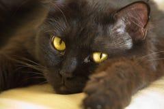 большой черный кот Стоковое Изображение