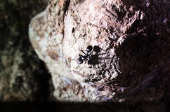 Большой черный муравей с гигантом раскрыл челюсти смотря прямые forewards на вас Подготавливайте для того чтобы сдержать Стоковая Фотография