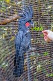 Большой черный попугай какаду сидя на ветви в Ла Puerto de Стоковое Изображение