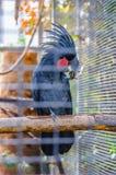 Большой черный попугай какаду сидя на ветви в Ла Puerto de Стоковые Изображения RF