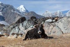 Большой черный як непальца с большими рожками смотрит в Стоковое Фото