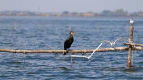 Большой черный cormorant Стоковая Фотография