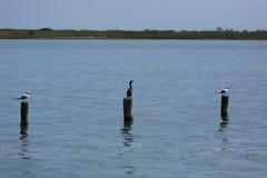 Большой черный cormorant Стоковые Фотографии RF