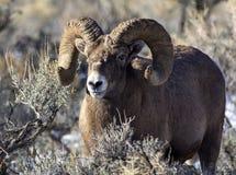 Большой штоссель овец Горна Стоковые Фотографии RF