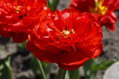 Большой, яркий красный цветок Стоковое Изображение