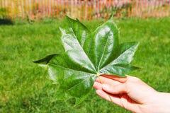 Большой яркий ый-зелен кленовый лист в руке человека против предпосылки зеленой травы и деревянной загородки Стоковая Фотография