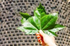 Большой яркий ый-зелен кленовый лист в руке человека против фона masonry Стоковое Изображение