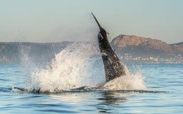 Большой carcharias Carcharodon белой акулы пробивая брешь в нападении Стоковые Изображения RF