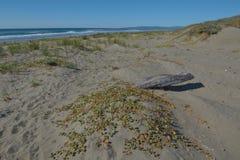 Большой driftwood в дюнах приближает к пляжу Стоковое Фото