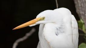 Большой Egret, большой заповедник Cypress национальный, Флорида Стоковые Изображения RF