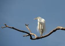Большой egret в болотистых низменностях Флориды Стоковое Фото
