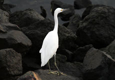 Большой Egret в заливе полета Стоковое Изображение