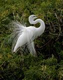 Большой Egret в оперении размножения распространенном вне Стоковое фото RF