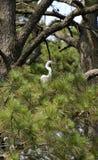 Большой Egret в сосне стоковая фотография