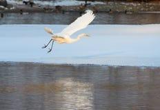 Большой Egret летая над замороженным рекой в солнечном свете в зиме Стоковые Фотографии RF