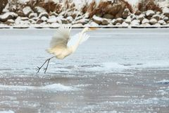 Большой Egret летая над замороженным рекой в солнечном свете в зиме Стоковая Фотография RF