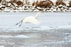 Большой Egret летая над замороженным рекой в солнечном свете в зиме Стоковое Изображение