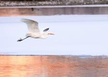 Большой Egret летая над замороженным рекой в солнечном свете в зиме Стоковые Изображения