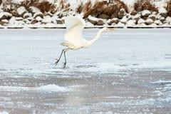 Большой Egret летая над замороженным рекой в солнечном свете в зиме Стоковые Фото