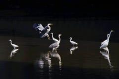 Большой egret и серая цапля Стоковая Фотография