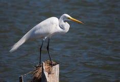 Большой Egret на его столбе Стоковое Фото