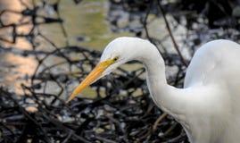 Большой Egret на озере #2 Стоковое Фото