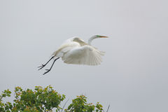 Большой Egret принимая полет от Rookery Texs Стоковые Изображения RF